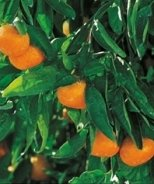 Owari Satsuma Mandarin Orange