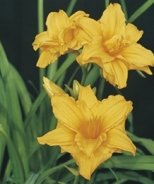 Starburst® Double Gold Evergreen Daylily