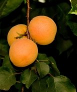 Tropic Gold Apricot