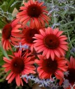 Big Sky™ Twilight Coneflower