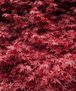 Shaina Japanese Maple