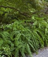 American Maidenhair Fern