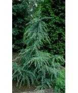 Karl Fuchs Himalayan Cedar