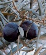 Sevillano Fruiting Olive