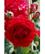 All Ablaze™ Climbing Rose