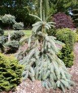 Bush's Lace Engelmann Spruce
