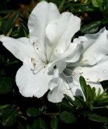 Bloom-A-Thon® White Reblooming Azalea