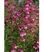 Red Rocks® Penstemon