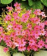 Pink Lemonade Coreopsis