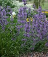 Little Trudy® Catmint