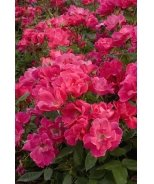 Knock Out® Shrub Rose