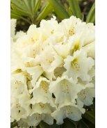 Buzzer Beater Rhododendron