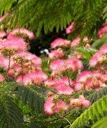 Ombrella™ Mimosa Tree