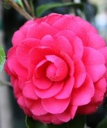 Colonel Firey Camellia
