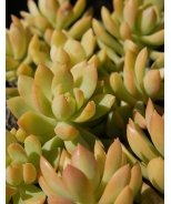 Golden Sedum