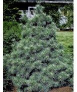 Blue Form Eastern White Pine