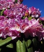 Raise The Roof® March Madness Rhododendron
