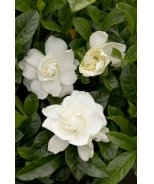 First Love Gardenia (Grafted)