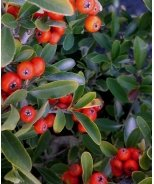 Red Elf™ Pyracantha