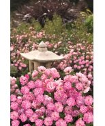 Flower Carpet® Pink Splash Groundcover Rose