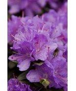 Ramapo Rhododendron