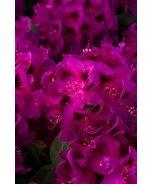 Wojnar's Purple Rhododendron