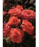 Salmon Sunblaze® Miniature Rose