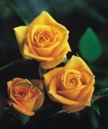 Golden Sunblaze® Miniature Rose