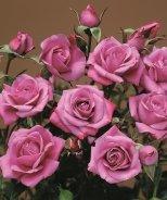 Lavender Sunblaze® Miniature Rose
