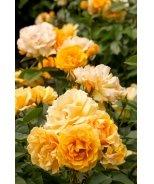 Julia Child™ Rose