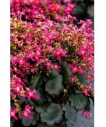 Berry Bright™ Saxifrage