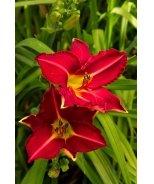 Starburst® Red Evergreen Daylily