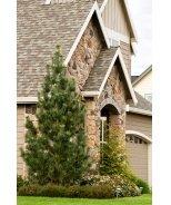 Vanderwolf's Pyramid Limber Pine