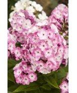 Volcano® Pink With White Eye Garden Phlox