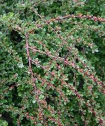 Tom Thumb Cranberry Cotoneaster