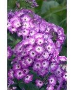 Volcano® Purple With White Eye Garden Phlox