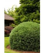 Dwarf Scotch Pine