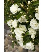 Flower Carpet® White Groundcover Rose