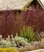 Purple Hopseed Bush