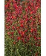 Coronado® Red Agastache
