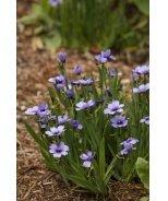 Lucerne Blue-Eyed Grass