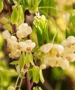 White Flowered Chocolate Vine