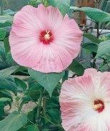 Disco Belle Pink Hibiscus