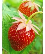 Herriot Strawberry