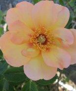 Sweet Spot™ Peach Rose