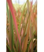 Rainbow Maiden New Zealand Flax