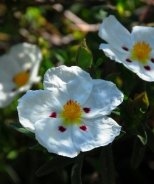 Spotted White Rock Rose