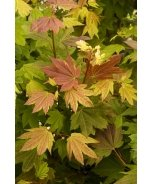 Pacific Fire Vine Maple