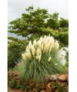 Ivory Feathers® Dwarf Pampas Grass