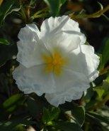 Bennett's White Rock Rose